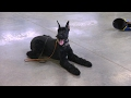 "Giant Schnauzer ""Yanis"" 10 Mo. Obedience Protection Trained Dog For S…"