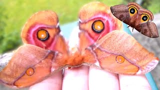 Moth breeding in captivity (MY HOBBY: Giant moths!)