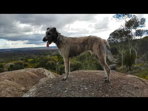 Walter, The Wolfhound x Deerhound at You Yangs