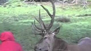 Dramatic Story Of 8 Years Red Deer (rothirsch)