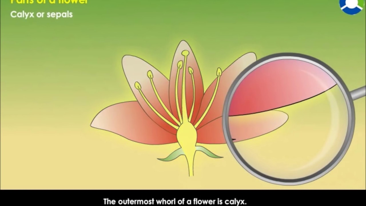 Parts Of A Flower Youtube