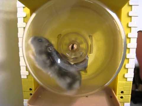三線野生倉鼠--超速跑滾輪 - YouTube