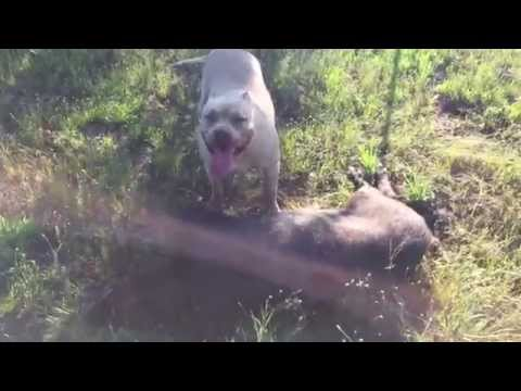 Our Pit Bull Got A Pig While Shed Hunting
