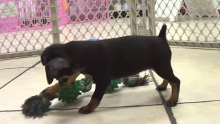 Miniature Pinscher, Puppies, For, Sale, In, Newark, New Jersey, Nj, Woodbridge, Iselin, Pleasantvill