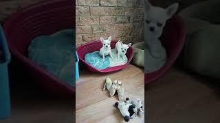 Декоративные собачки в Москве. Где купить щенка чихуахуа недорого. Продажа чихуахуа на Догики.