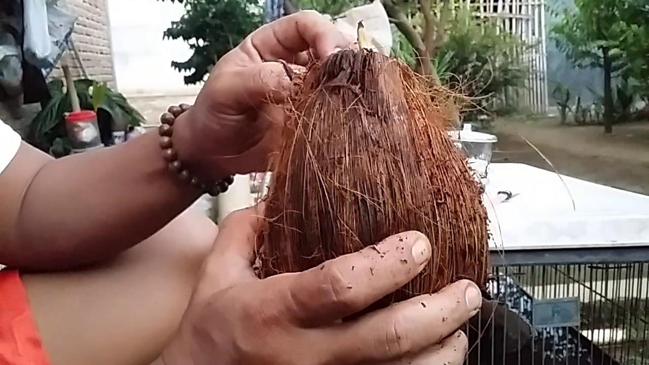 Bonsai Kelapa Tutorial Membuka Kulit Sepet Kelapa Youtube