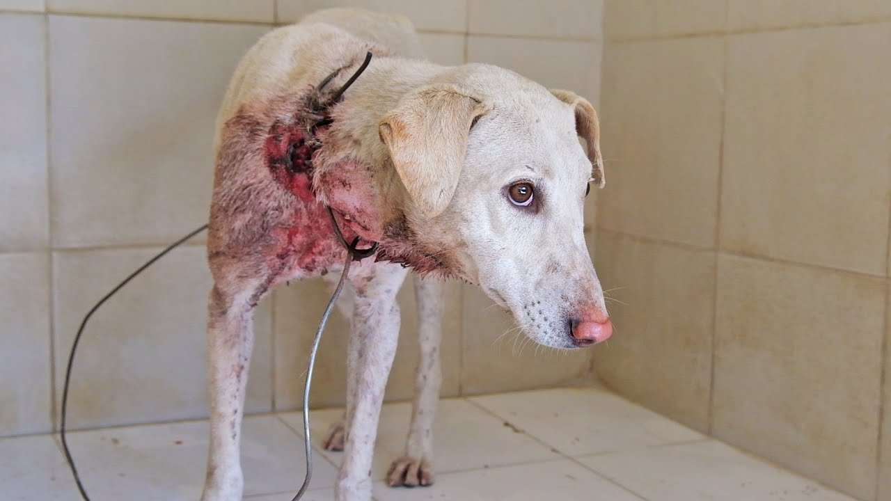 Download Dog rescued with wire embedded in neck, long road to emotional recovery.