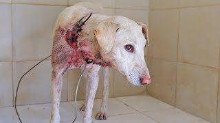 Dog rescued with wire embedded in neck, long road to emotional recovery.