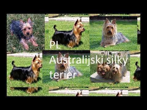 PL Australijski silky terier