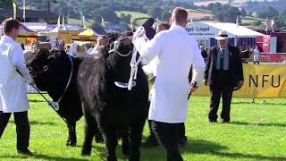 Tarw Du Cymreig Ifanc | Welsh Black Young Bull