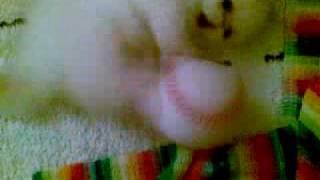 Гималайский котёнок Himalayan kitten red paint