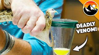 Deadliest Job in America - Snake Milker!