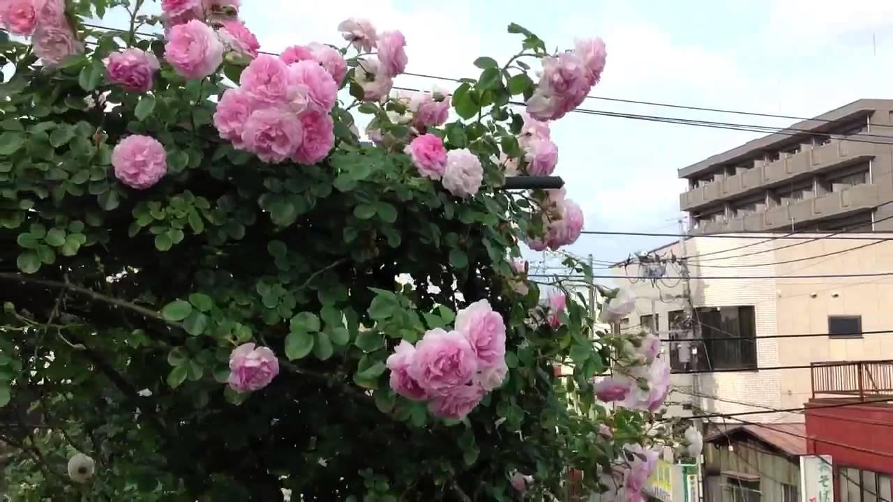 shiuan 39 s rose garden 2013 cl jasmina youtube. Black Bedroom Furniture Sets. Home Design Ideas