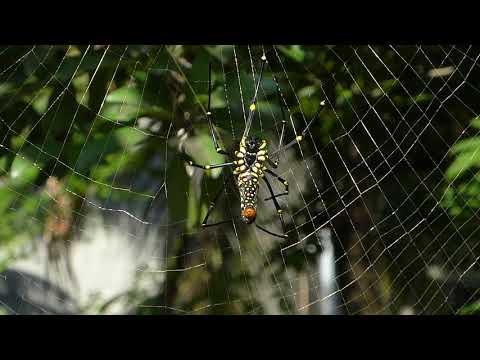 Female Giant Wood Spider Web