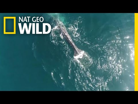 Why Are Gray Whales Losing Their Tails? | Nat Geo Wild
