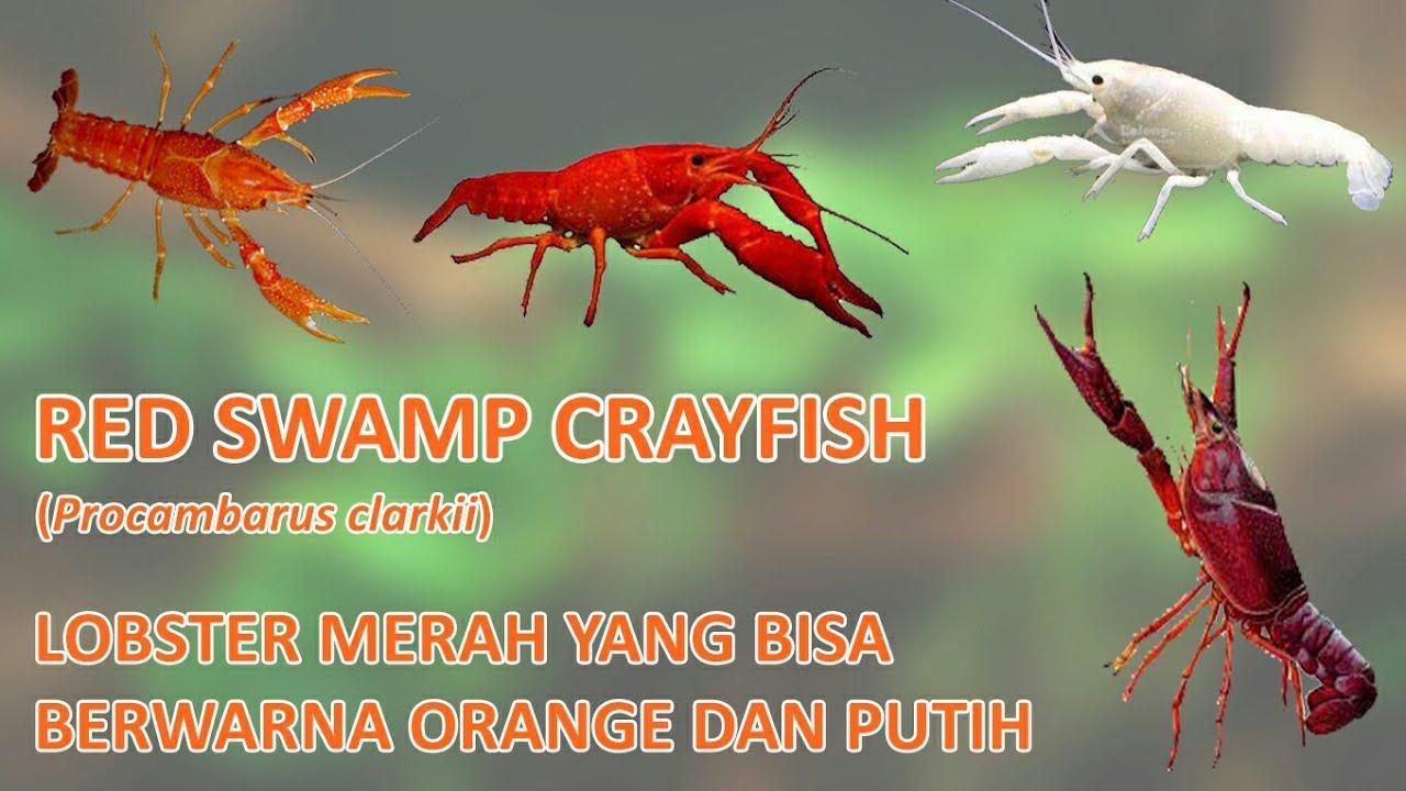Red Swamp Crayfish Lobster Air Tawar Yang Memiliki Varian Warna