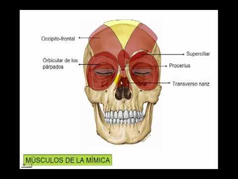 Miolog a de la cara youtube - Rodillo para lacar ...