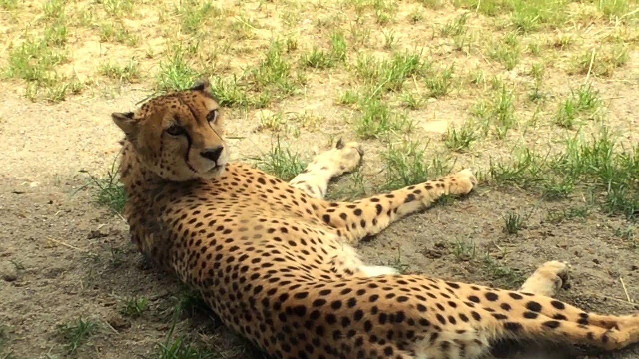 the asiatic cheetah