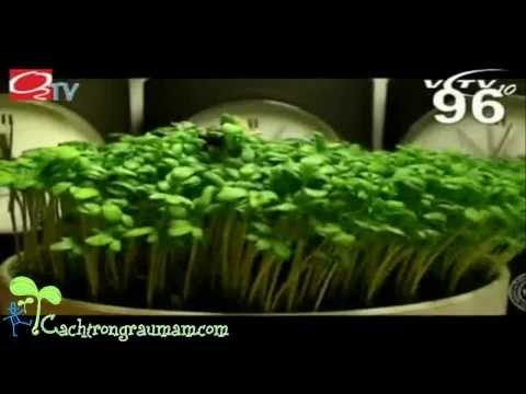 Hướng dẫn trồng rau mầm tại nhà - Cách trồng rau mầm