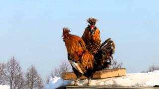PAVLOV ROOSTERS SING cock-a-doodle-doo ПЕТУХИ ПОЮТ КУКАРЕКУ