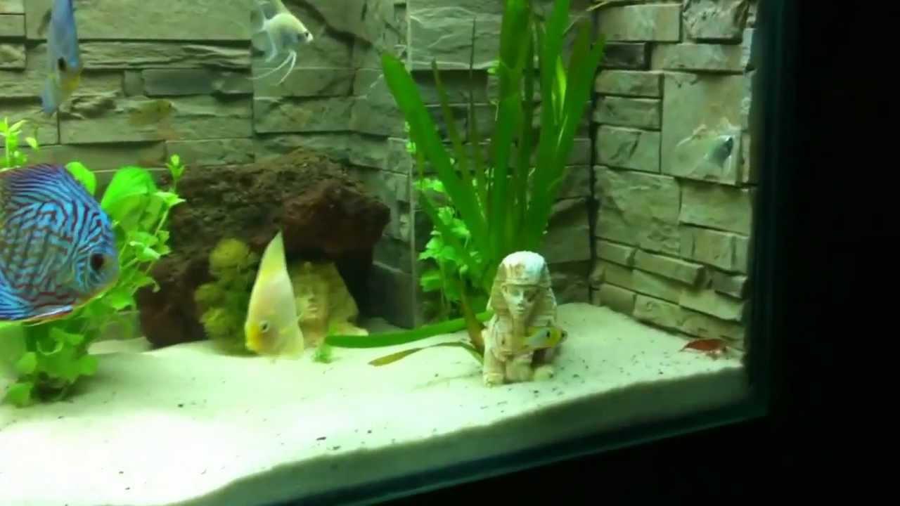 Acuario plantado con peces disco youtube for Peces de colores para acuarios