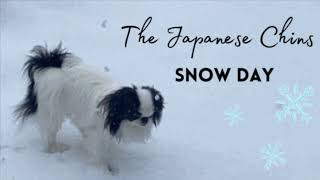 Japanese Chin Dog having fun in the snow