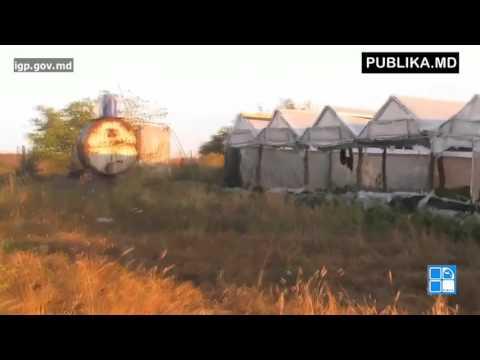 40 de TONE de MARIJUANA găsite de polițiști la Fălești