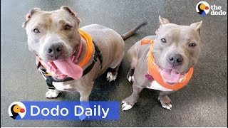 Adopted Pit Bulls Found Neglected Reunite | Best Animal Videos: The Dodo Daily thumbnail