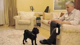 Бельгийский (брюссельский) гриффон. Собаки для квартиры. Умнейшая собака Гарри Шторм . Видео 2 из 6