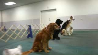 Fort Wayne Obedience Training Club (jump For Joy -  Young & Free Indiana)
