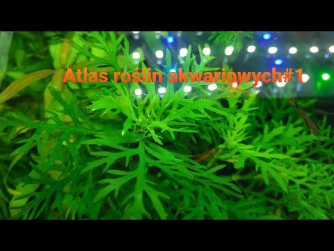 Nadwódka Trójkwiatowa (Hygrophila Difformis) to roślina jak z bajki.Atlas roślin akwariowych#1