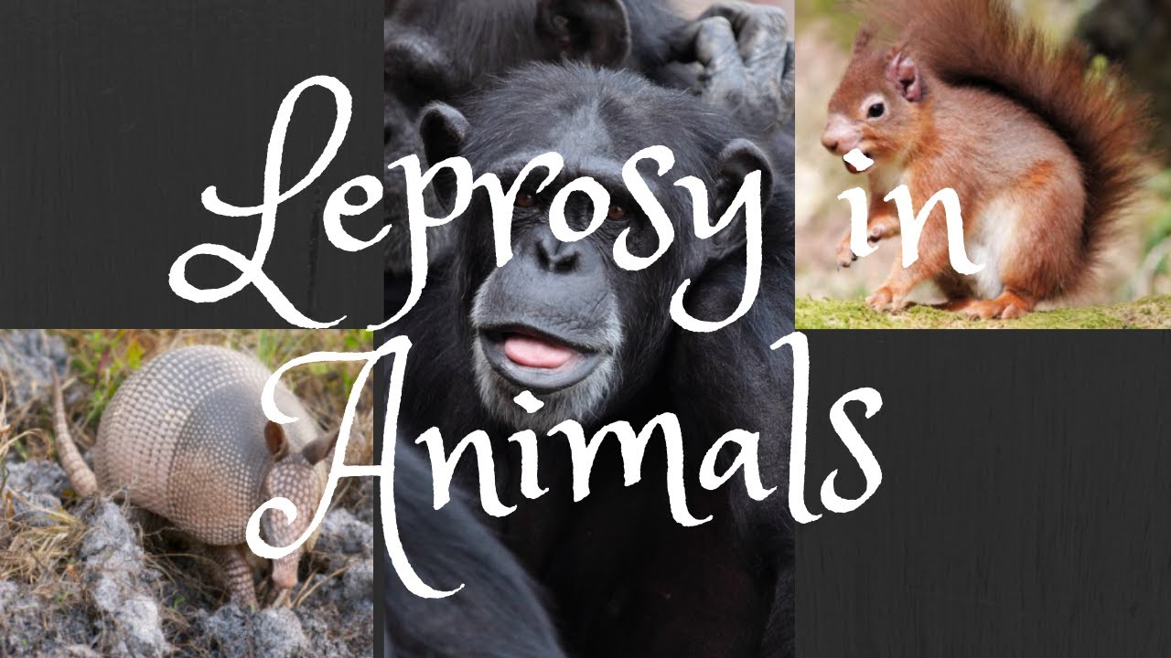 Leprosy in humans and animals