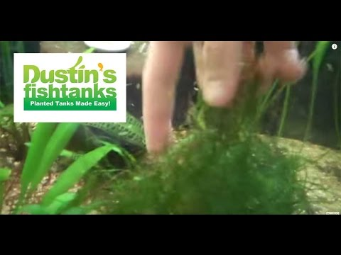 How to Grow Java Moss: Vesicularia Species Sunday