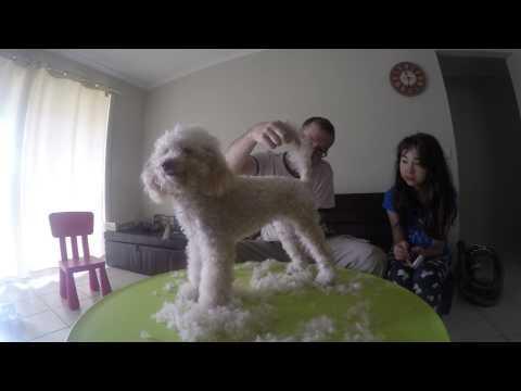 1 Minute Poodle Cut