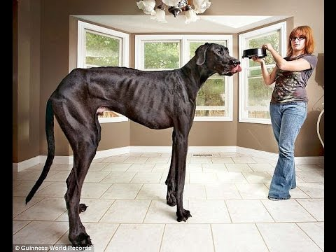 Zeus The Great Dane Is World S Tallest Dog