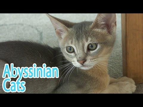 Abyssinian Breed