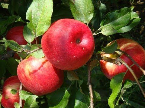 Лучшие сорта яблок. Прогулка по саду продолжение часть 2
