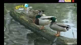 Boogie Beebies - Do The Duck