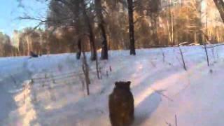 погоня за кабаном на снегоходе(, 2011-05-01T07:43:51.000Z)