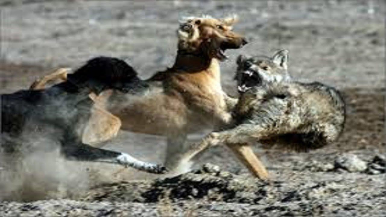 Best Wolf Killing Dog