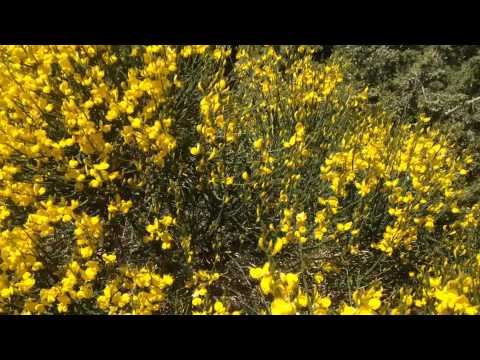 Scotch Broom Bush Before Bumble Bee Youtube