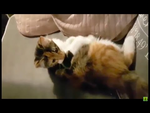 Polydactyl Maine-Coon kitten Playing With Fake Mouse