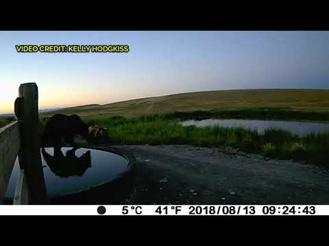 Grizzly bears caught on video between Choteau and Augusta