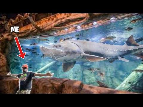 GIANT NASTY FISH Found In BASS PRO SHOP AQUARIUM