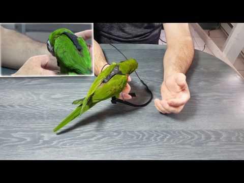 Comment Choisir Et Mettre Le Bon Harnais à Son Perroquet?