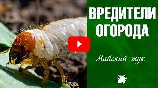 Вредители огорода ➡  Личинка майского жука ☑️ Как бороться?(, 2017-02-25T16:27:16.000Z)