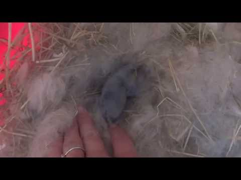5-day-old-mini-lop-bunny-rabbit-cute-(part-2)-hiding-in-nest-kit-surprise-litter---runt