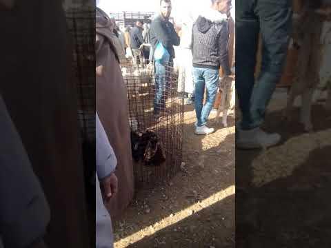 اسعار الماعز بسوق مسعد بولاية الجلفة يوم 19 فيفري 2020
