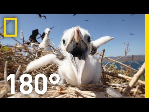 'Pirate Birds' of the Tropics 180 | National Geographic