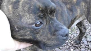 Staffordshire Bull Terrier - Rehome Me